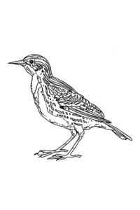 State bird Western Meadowlark