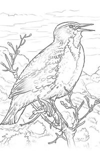 Western Meadowlark coloring sheet